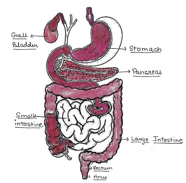 Digestive system - Answer